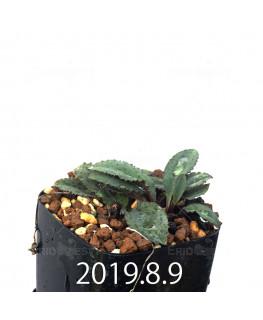 Drimiopsis sp. EQ496 Offset 8828
