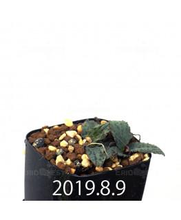 Drimiopsis sp. EQ496 Offset 8842