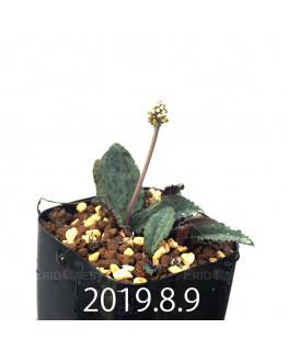 Drimiopsis sp. EQ496 Offset 8843