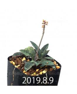 Drimiopsis sp. EQ496 Offset 8844