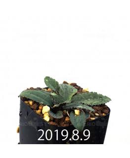 Drimiopsis sp. EQ496 Offset 8845