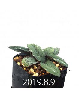 Drimiopsis sp. EQ496 Offset 8846