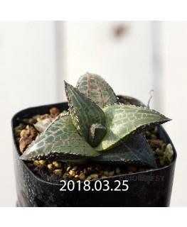 Haworthia venosa ssp. tessellata Offset 8866