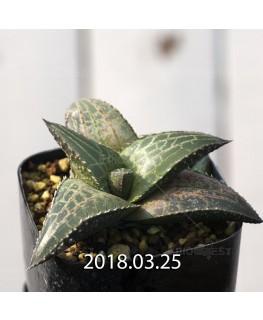 Haworthia venosa ssp. tessellata Offset 8867