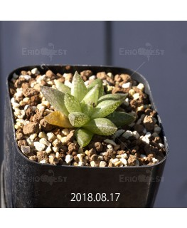 Haworthia reticulata var. hurlingii Offset 9730