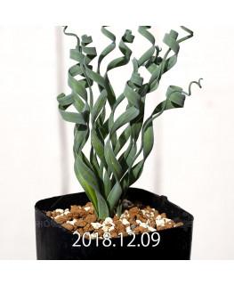 Albuca concordiana Type-KP Seedling 9840