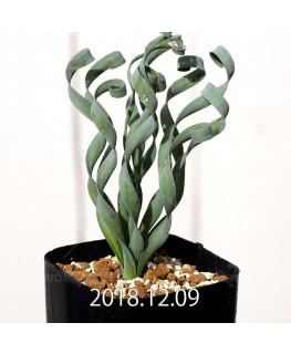 Albuca concordiana Type-KP Seedling 9841