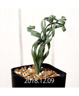Albuca concordiana Type-KP Seedling 9844