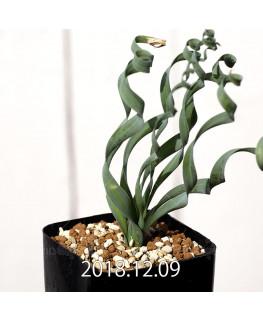 Albuca concordiana Type-KP Seedling 9851