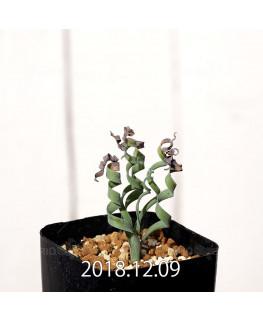 Albuca concordiana Type-KP Seedling 9854