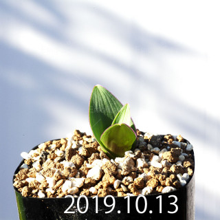 Lachenalia carnosa Seedling 11393