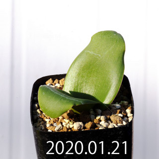 Massonia depressa EQ646 Seedling 11812