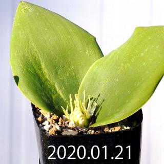 Massonia depressa EQ646 Seedling 11814
