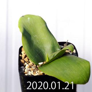 Massonia depressa EQ646 Seedling 11818
