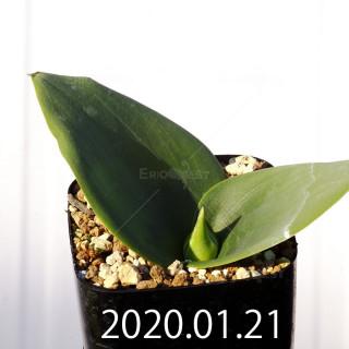 Massonia depressa EQ646 Seedling 11829