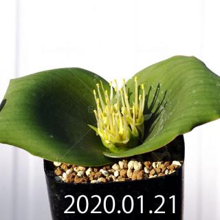 Massonia depressa EQ646 Seedling 11830