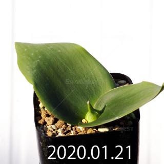 Massonia depressa EQ646 Seedling 11836