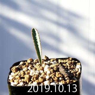 Albuca dilucula Seedling 13903