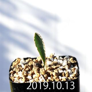 Albuca dilucula Seedling 13905