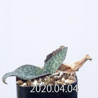 Resnova megaphylla EQ761 Seedling 14176