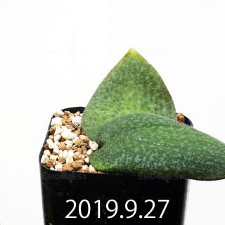 Resnova megaphylla EQ761 Seedling 14180