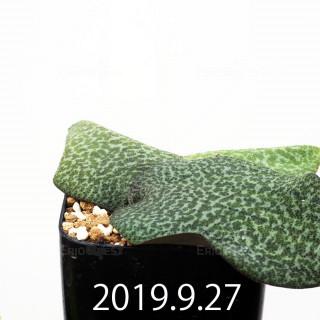 Resnova megaphylla EQ761 Seedling 14183