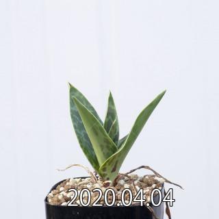 Ledebouria revoluta EQ780 Seedling 15072