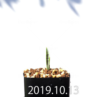 Lachenalia aloides var. quadricolor Seedling 17608