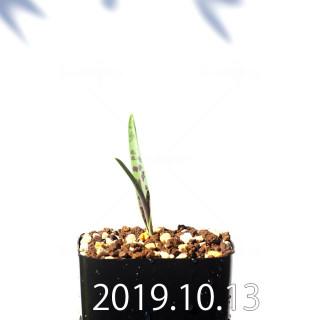Lachenalia aloides var. quadricolor Seedling 17627