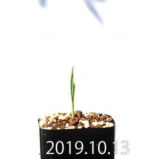 Lachenalia aloides var. quadricolor Seedling 17634