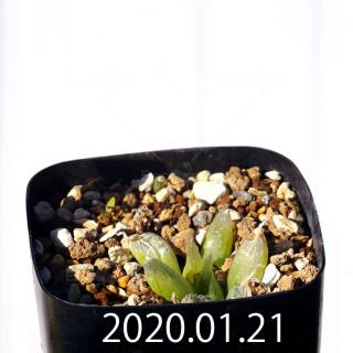 Bulbine mesembryanthemoides EQ651 Seedling 17887