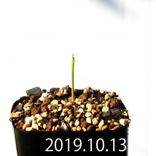 Lachenalia corymbosa EQ453 Offset 17892