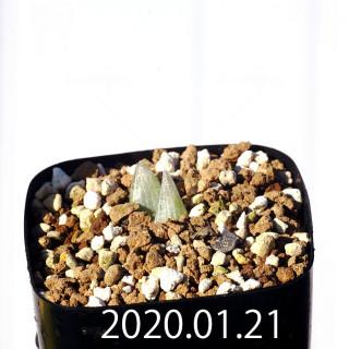 Bulbine mesembryanthemoides EQ651 Seedling 18069