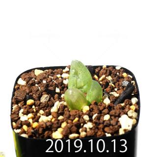 Bulbine mesembryanthemoides EQ651 Seedling 18070