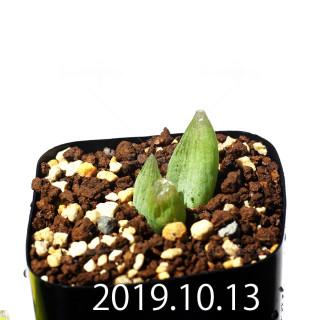 Bulbine mesembryanthemoides EQ651 Seedling 18072