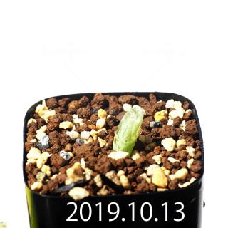 Bulbine mesembryanthemoides EQ651 Seedling 18075