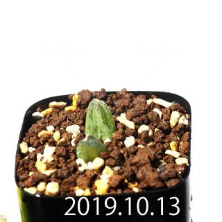 Bulbine mesembryanthemoides EQ651 Seedling 18082