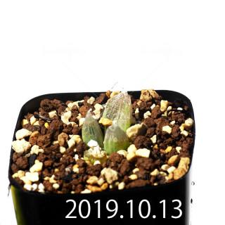 Bulbine mesembryanthemoides EQ651 Seedling 18095