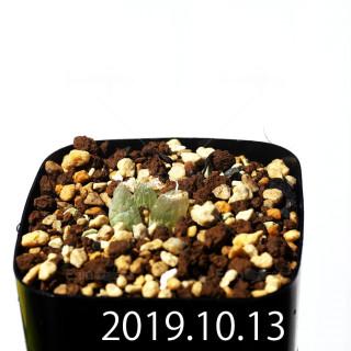 Bulbine mesembryanthemoides EQ651 Seedling 18098