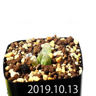 Bulbine mesembryanthemoides EQ651 Seedling 18102