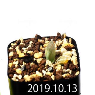 Bulbine mesembryanthemoides EQ651 Seedling 18105