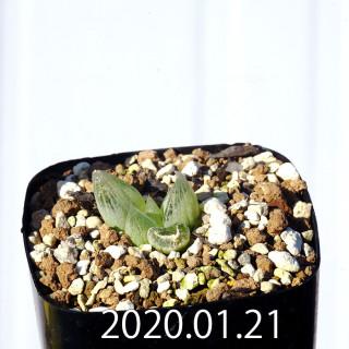Bulbine mesembryanthemoides EQ651 Seedling 18108