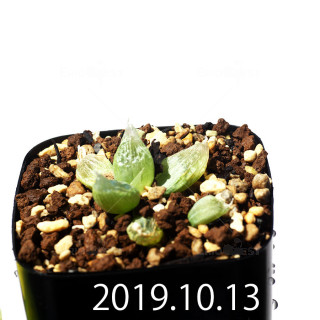 Bulbine mesembryanthemoides EQ651 Seedling 18111