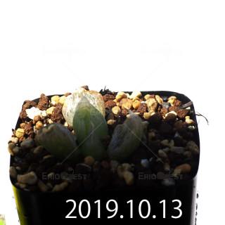 Bulbine mesembryanthemoides EQ651 Seedling 18114