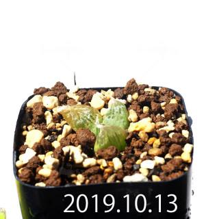 Bulbine mesembryanthemoides EQ651 Seedling 18123