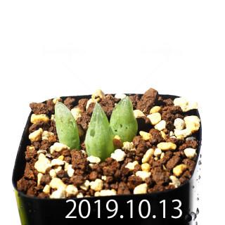 Bulbine mesembryanthemoides EQ651 Seedling 18127