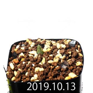 Bulbine mesembryanthemoides EQ651 Seedling 18130