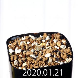 Bulbine mesembryanthemoides EQ651 Seedling 18132
