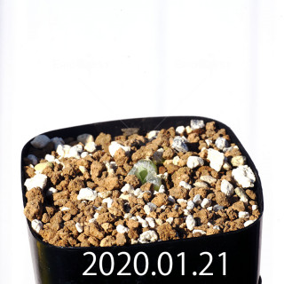 Bulbine mesembryanthemoides EQ651 Seedling 18134