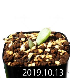 Bulbine mesembryanthemoides EQ651 Seedling 18142